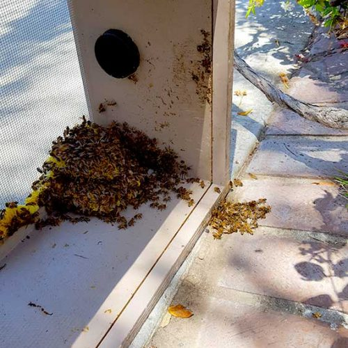 Bee Swarm Removal Riverside, CA