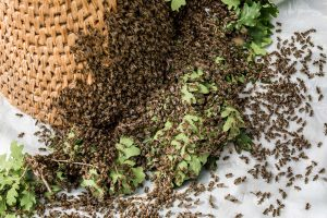 bonsall bee removal